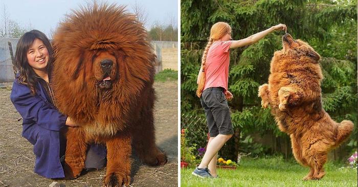 Mastino Tibetano: 138 foto mostrano quanto questo cane sia enorme