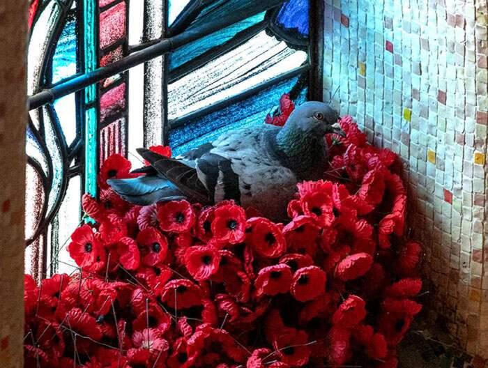 Piccione ruba i papaveri dalla tomba di un milite ignoto e ne fa il suo nido
