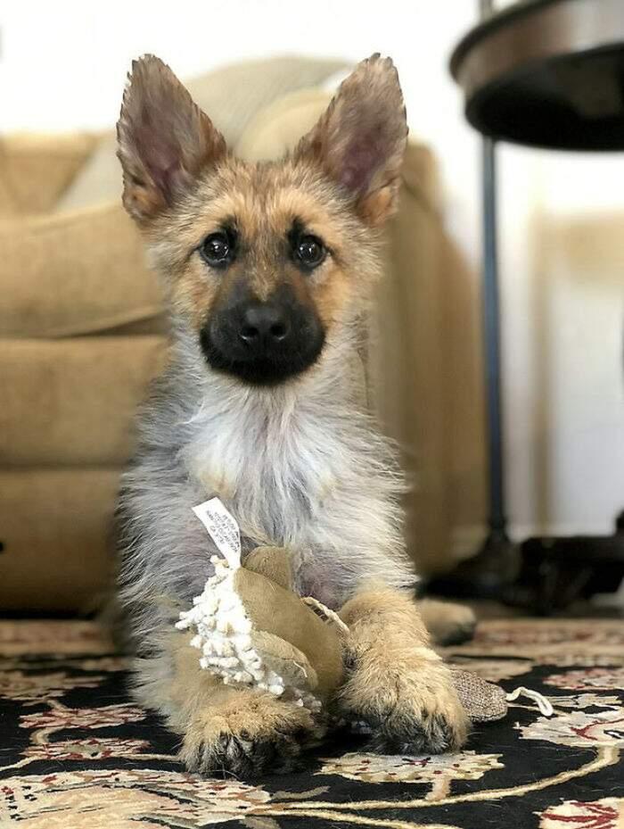 Un pastore tedesco adulto che sembra un cucciolo a causa del nanismo ipofisario