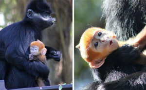 Vi presentiamo Nangua, un'adorabile scimmietta arancione molto rara