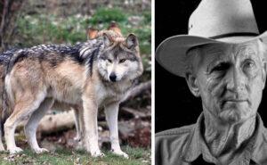 Specie di lupo estinta, ora ripopola di nuovo i deserti grazie a un ex cacciatore di lupi