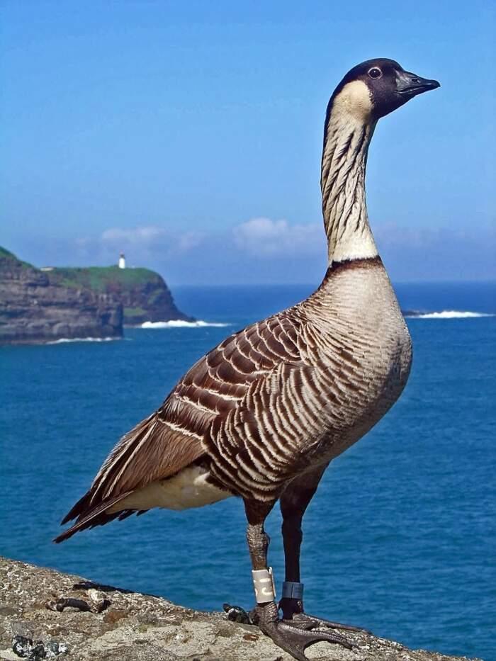 Oca delle Hawaii