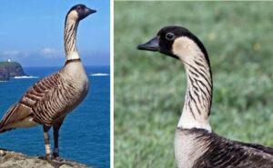 L'Oca delle Hawaii vola via dall'estinzione, ne erano rimaste solo 30