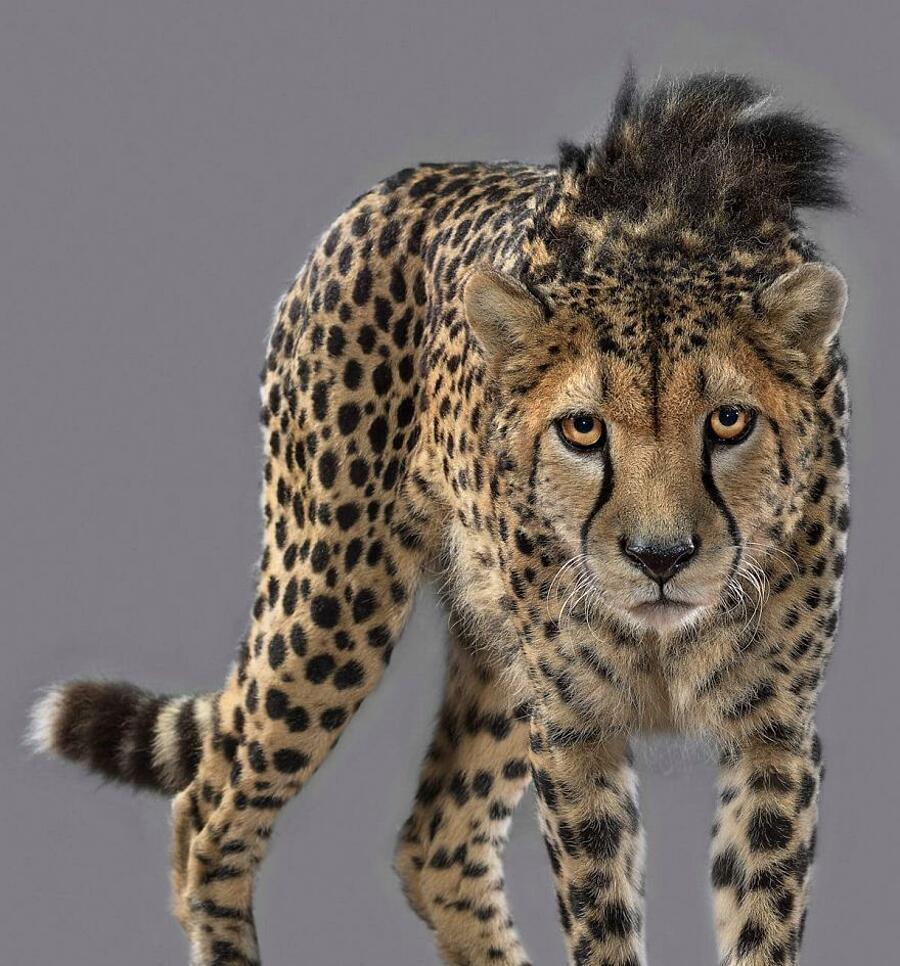 Foto ritratti di grandi felini Ralph Perou