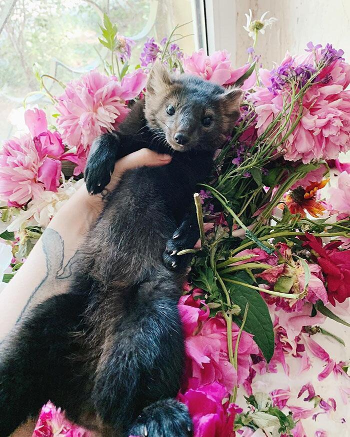 Ragazza salva uno zibellino da un allevamento di pellicce in Russia