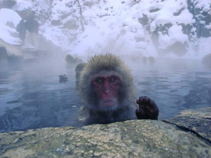 Le scimmie delle nevi che si rilassano alle terme in Giappone nel Parco di Jigokudani