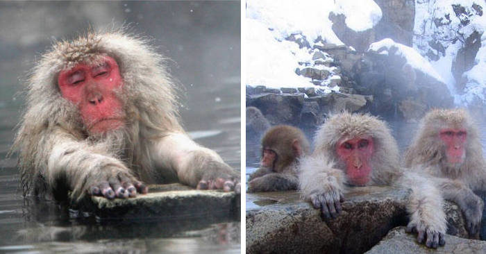 Le scimmie delle nevi che si rilassano alle terme in Giappone ci insegnano qualcosa