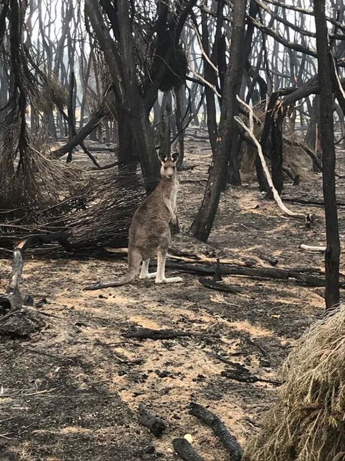 Aerei lanciano dal cielo tonnellate di cibo per gli animali affamati dagli incendi in Australia