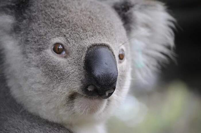 Vandali avvelenano alberi centenari che ospitavano i koala decimati dagli incendi in Australia