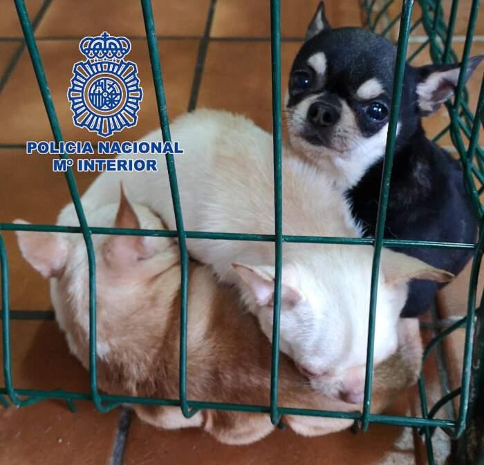 Smantellati due allevamenti illegali di chihuahua, alcuni cani avevano le corde vocali tagliate