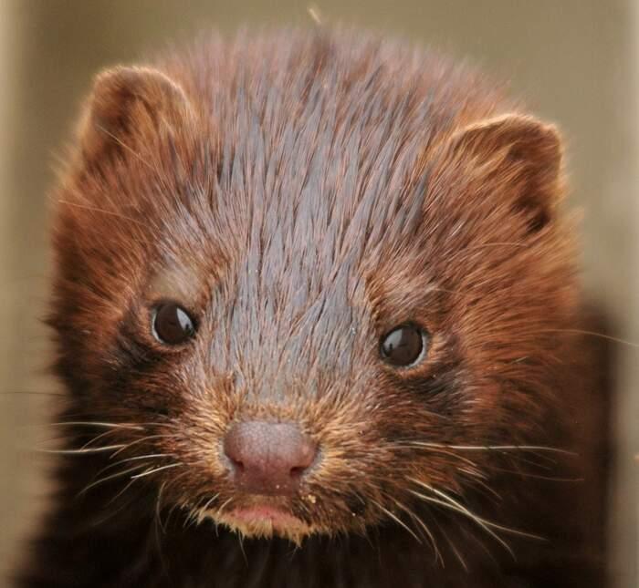 Mai più animali trasformati in pellicce: chiude l'allevamento di visoni vicino Parma
