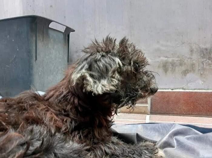 Cane abbandonato nella fogna con gli occhi incollati per impedirgli di tornare a casa