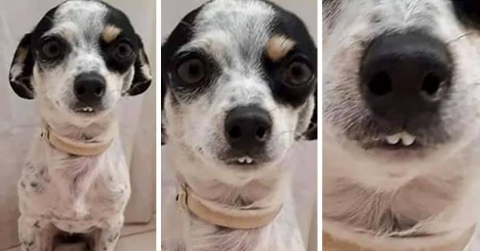Le più buffe foto di cani che mostrano i denti condivise online (41 immagini)