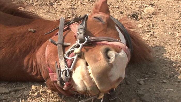 Cavallo si finge morto Jingang