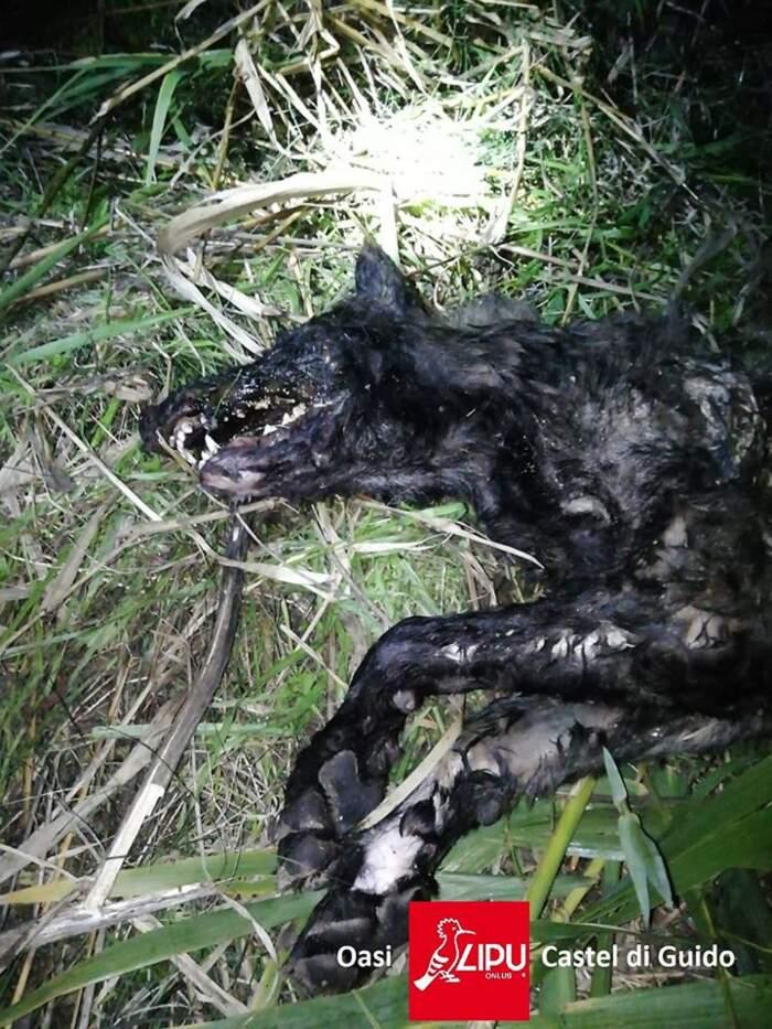 Ucciso dai bracconieri uno dei cuccioli di lupo nati nell'oasi Lipu a Roma