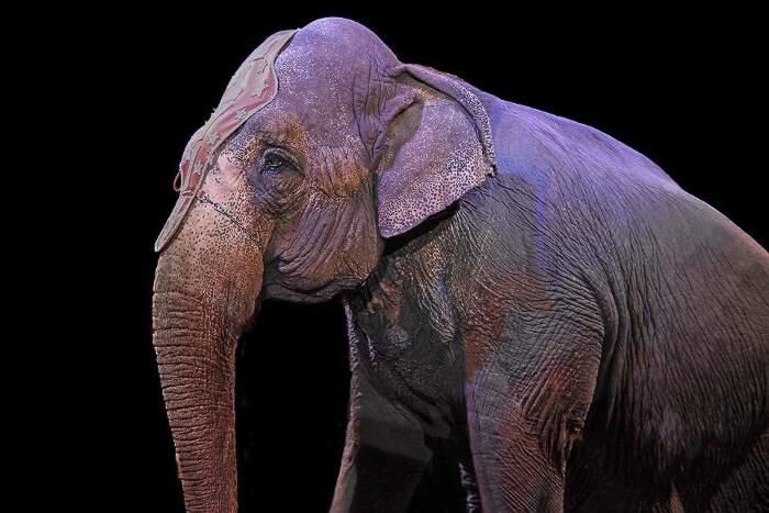 La Danimarca adotta gli ultimi elefanti da circo e li libera dai maltrattamenti