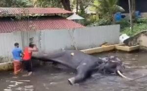 Elefante incatenato geme dal dolore mentre viene fustigato da un custode di un tempio buddista