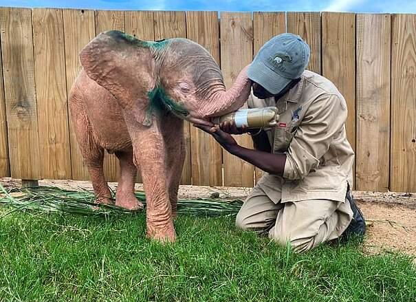 Elefantina albina ha il sorriso di Joker per essersi ferita in una trappola dei bracconieri