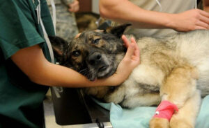 Finto veterinario sopprime un cane facendosi pagare 70 euro, ma l'animale poteva salvarsi