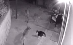 Gatto coraggioso affronta 3 coyote respingendoli e difendendo la padrona di casa