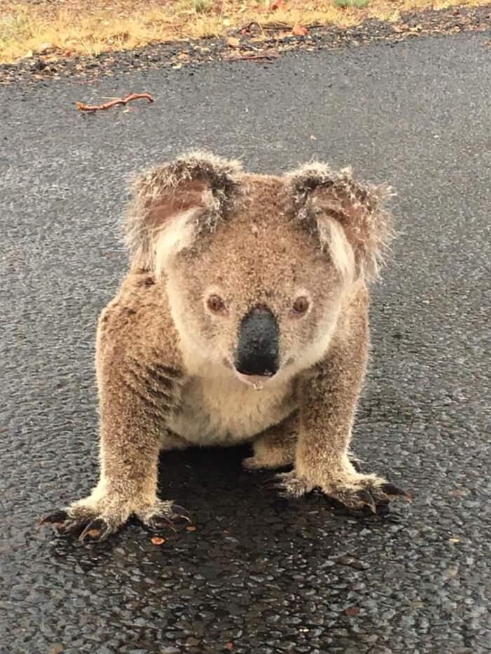 Koala assetato lecca la tanto attesa pioggia sull'asfalto