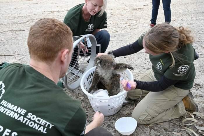 Koala nasconde il viso nella sua pelliccia alla vista dell'amico morto