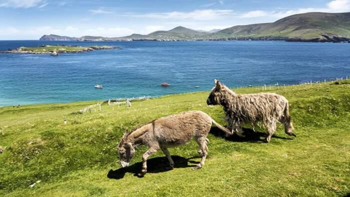 Great Blasket Island, Irlanda, cerca coppia di amici per lavoro stagionale