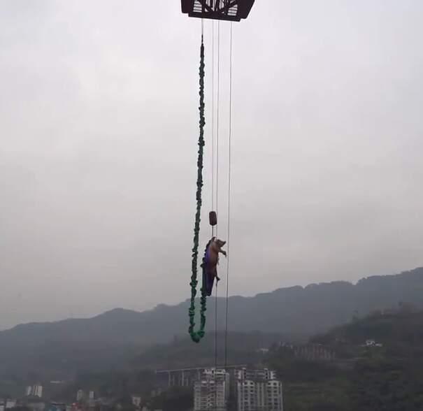 Maiale vivo viene costretto a fare bungee jumping per inaugurare parco divertimenti