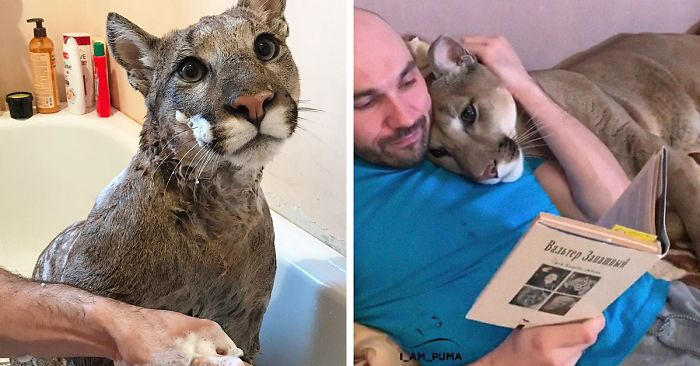 Curano un puma malato e lo portano a vivere con loro: adesso sembra proprio un enorme gatto domestico