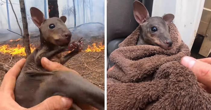 Pompiere filma il momento in cui salva un cucciolo di canguro dalle fiamme in Australia