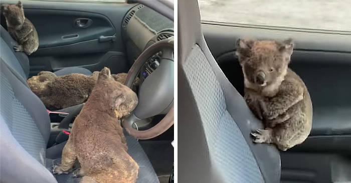 Adolescenti australiani girano con l'auto raccogliendo koala feriti e portandoli a casa