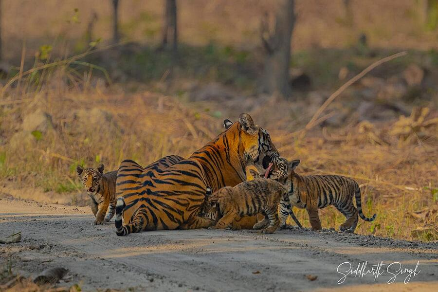 Tigre con i suoi 5 cuccioli Siddharth Singh india