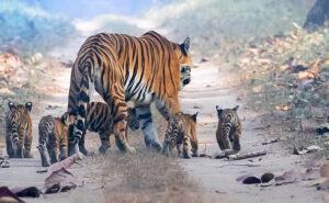 Una tigre a spasso con i suoi 5 cuccioli, la foto che dà speranza per la conservazione della specie