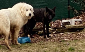 L'amicizia tra un cane e un raro coyote nero in fuga aiuta i ricercatori a ritrovarlo