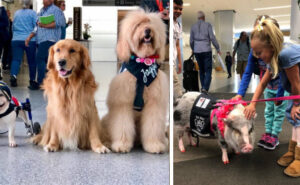 """Una """"brigata scodinzolante"""" di animali da terapia aiuta i viaggiatori stressati all'aeroporto"""