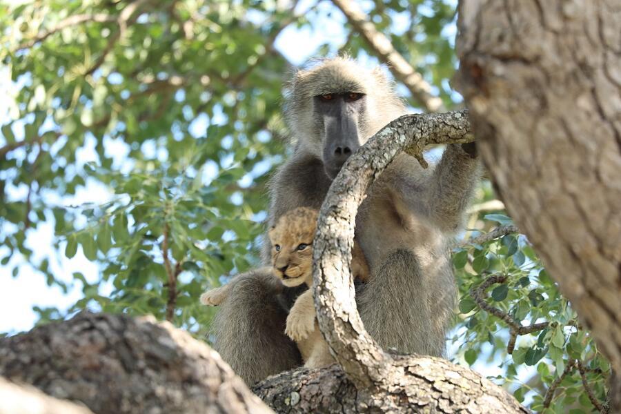 Babbuino porta tra le braccia cucciolo di leone Kruger National Park