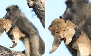 """Babbuino porta con sé un cucciolo di leone e sembra la scena de """"Il re leone"""""""