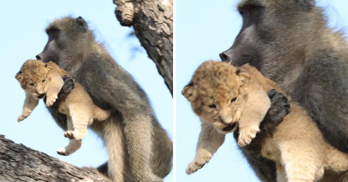 Babbuino porta con sé un cucciolo di leone e sembra la scena de