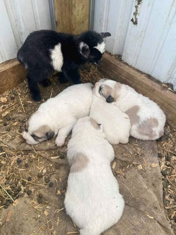 Mamma cane adotta una capretta abbandonata e la allatta insieme ai suoi cuccioli