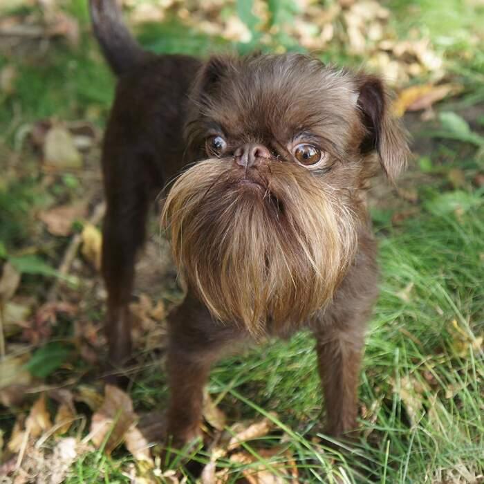 Cane hipster griffone belga con barba e baffi