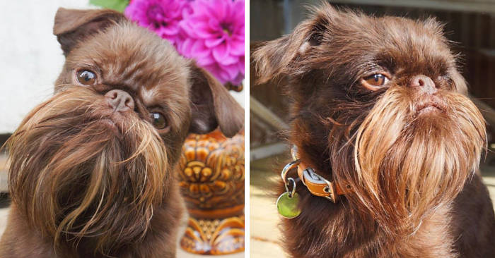 Questo piccolo cane hipster ha una barba di cui va molto fiero ed è già una celebrità