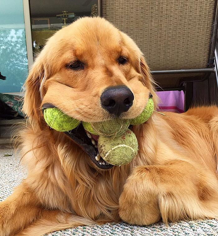 Finley golden retriever palline da tennis