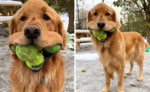 Finley, il cane che ha battuto il record mondiale per la quantità di palline da tennis in bocca