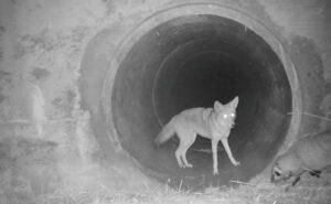 L'insolita amicizia tra un coyote e un tasso catturata in video da una fototrappola
