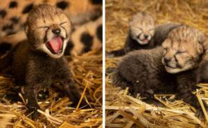 Cuccioli di ghepardo nati da fecondazione in vitro fanno sperare per la conservazione della specie