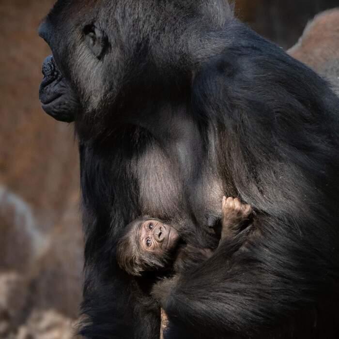 È femmina il primo cucciolo di gorilla nato dopo 20 anni allo zoo di Los Angeles