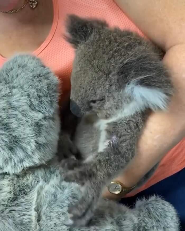 Cucciolo di koala orfano abbraccia l'orsacchiotto