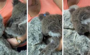 Il momento in cui un cucciolo di koala orfano a causa degli incendi abbraccia l'orsacchiotto del veterinario