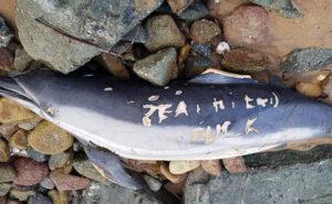Delfini massacrati hanno sulla pelle messaggi intimidatori incisi dai pescatori con un coltello