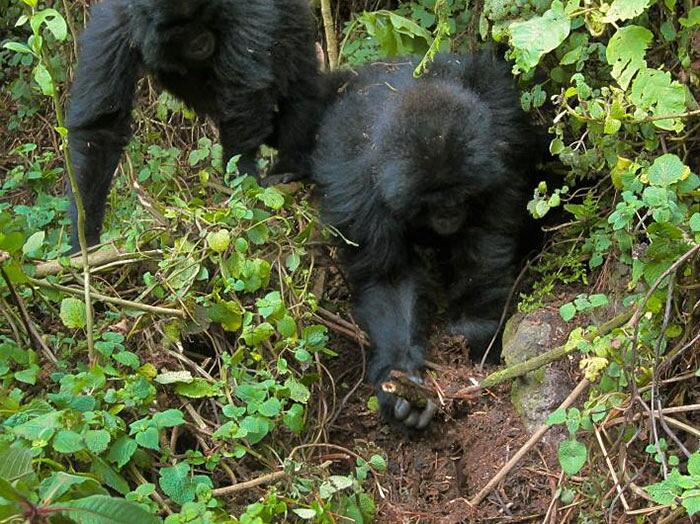 Due gorilla distruggono trappole dei bracconieri Ruanda